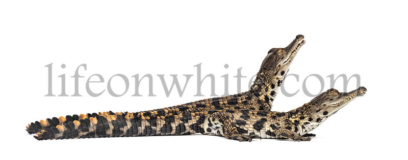 Young West African slender-snouted crocodile, Mecistops cataphractus, isolated on white