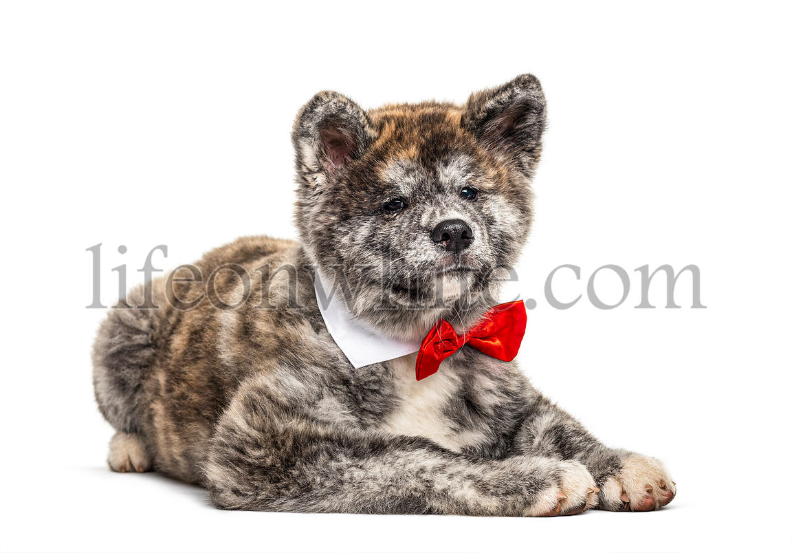 Akita inu dog lying wearing a bow tie, isolated on white