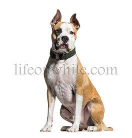 American Staffordshire Terrier, 2 years old, sitting in front of white background