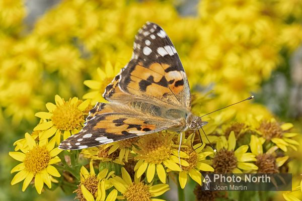 BUTTERFLY 21B - Painted Lady