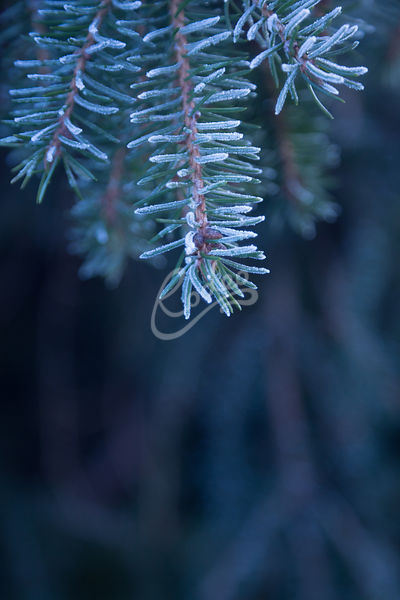 Frosty pine needles