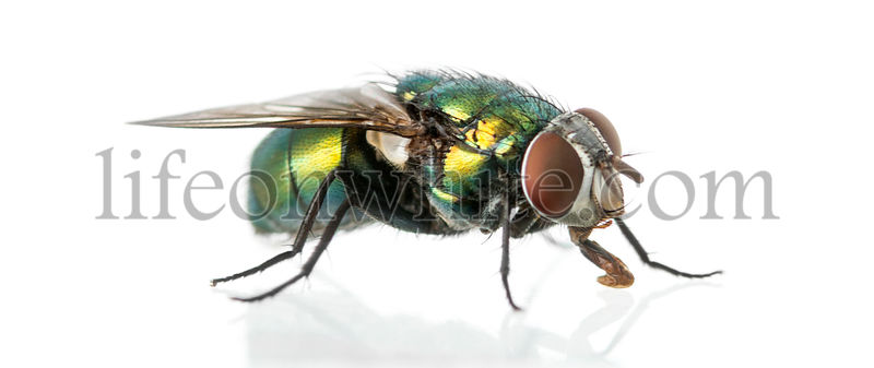 Common green bottle fly, Phaenicia sericata, isolated on white