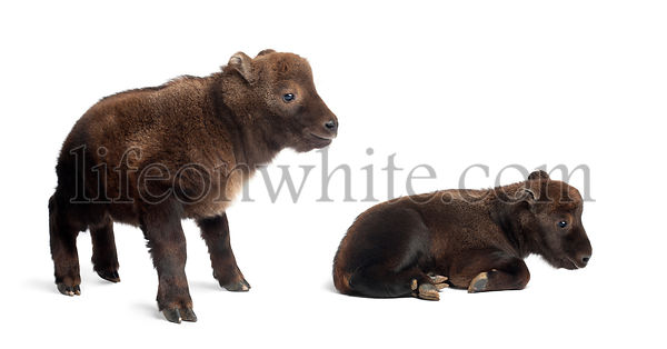 Mishmi Takins, Budorcas taxicolor taxicol, also called Cattle Chamois or Gnu Goat, 10 and 15 days old, standing against white...