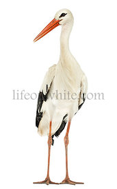 White stork standing, Ciconia ciconia, isolated on white