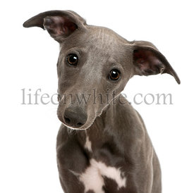 Close-up of Whippet puppy, 6 months old, in front of white background