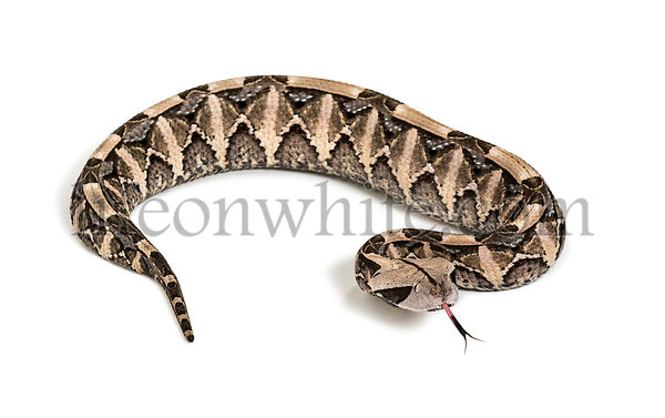 Bitis gabonica, Gaboon viper , Bitis gabonica, is a viper species, venomous looking at camera against white background