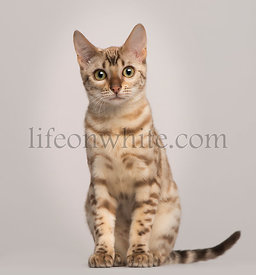 Bengal cat, 5 years old