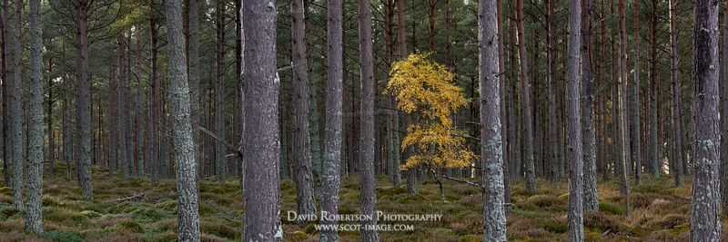 Prints & Stock Image - Lone Silver Birch tree in forestry plantation, Badenoch and Strathspey, Highland, Scotland.