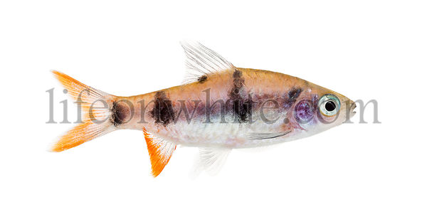 Side view of a Dawkinsia tambraparniei, fish, isolated on white