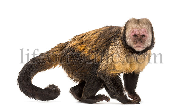 Golden-Bellied Capuchin, Sapajus xanthosternos, also known as the yellow-breasted or buffy-headed capuchin standing against w...