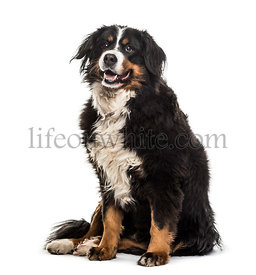 Bernese Mountain Dog , 9 years old, sitting against white background