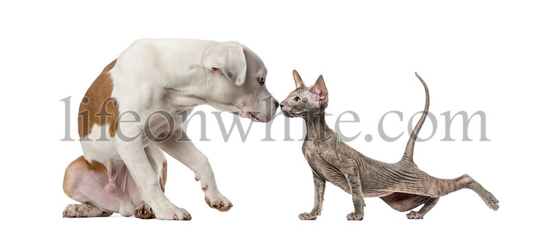 American Staffordshire Terrier and Peterbald kitten, in front of white background