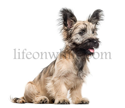 Skye Terrier dog sitting and looking away isolated on white