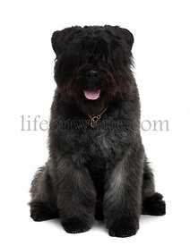 Bouvier des Flandres dog sitting in front of white background