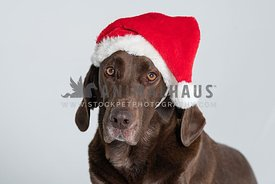 close up of chocolate lab wearing Santa hat