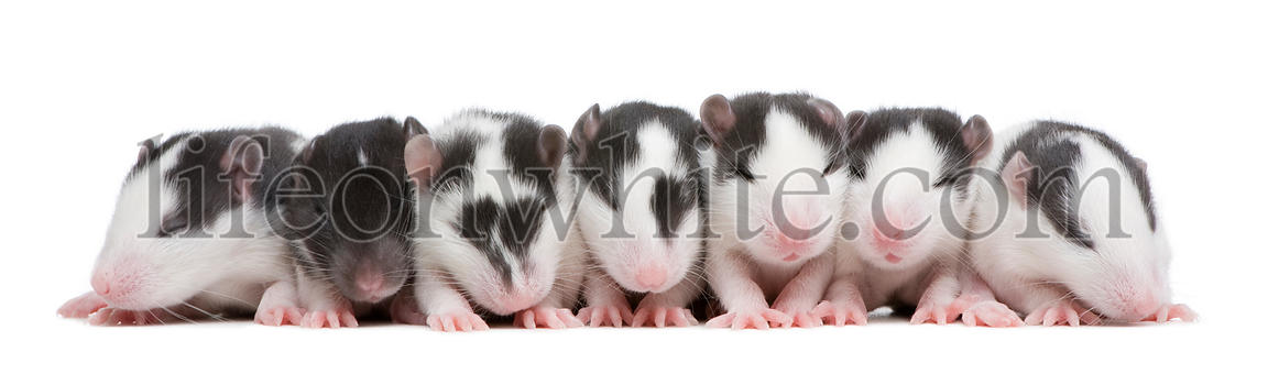 babby Rat in a row