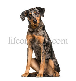 Beauceron, 15 months old, sitting in front of white background