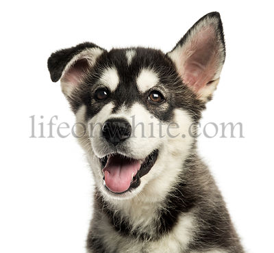 Close-up of a Husky malamute puppy panting, isolated on white