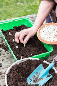 Semis de graines de potiron ∞ Sowing of potiron squashes in a seed tray