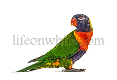 Side view of a Rainbow Lorikeet, Trichoglossus moluccanus, isolated