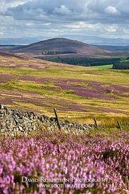 Prints & Stock Image - Heather Moor in the Lammermuir Hills.  Looking south to Dirrington Great Law, Scottish Borders, Scotland.