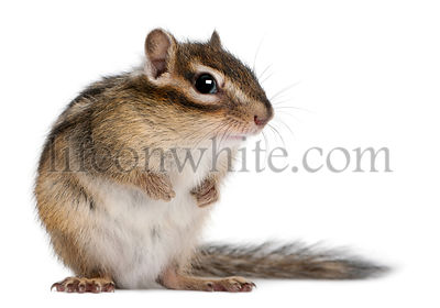 Siberian chipmunk, Euamias sibiricus, in front of white background