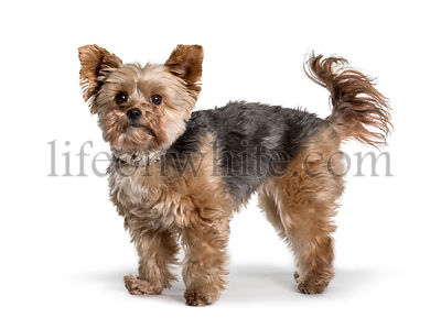 Young Yorkshire Terrier standing against white background