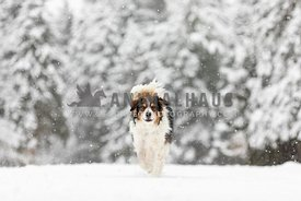 An English shepherd walking through the snow