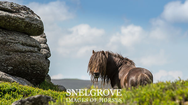Dartmoor Stallion - Honeybag Tor