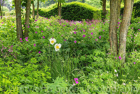 Geranium psilostemon and Paeonia 'J. V. Llewellyn' - Peony - in the Katsura Grove, backed with clipped Taxus - Yew - hedges. ...