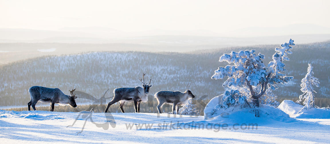 Reindeers on top of the fell Olos in Lapland