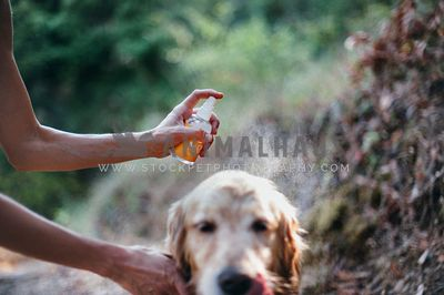 Golden Retriever on a hike getting sprayed with insect repellent