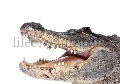 American Alligator (30 years) - Alligator mississippiensis