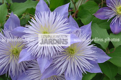 Clematis 'Crystal Fountain' Fairy Blue®. Plantarium. Hollande