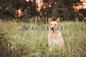 Yellow husky mixed sitting in grasses
