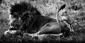 5429-Lions_Father_and_son_Kenya_2014_Laurent_Baheux