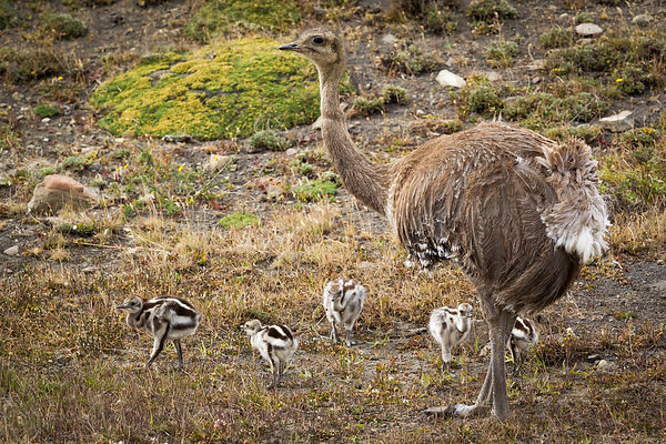 Lesser nandu with offspring going for a walk in Torres del Paine National Park, Chilean Patagonia.