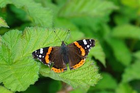 Closeup of a slightly damaged overwintering Vanessa atalanta butterfly sitting on a green leaf with open wings
