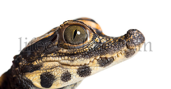 Dwarf crocodile, Osteolaemus tetraspis also know as African dwarf crocodile, broad-snouted crocodile, or bony crocodile looki...
