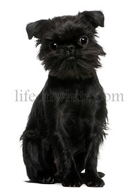 Griffon Belge, 1 year old, sitting in front of white background