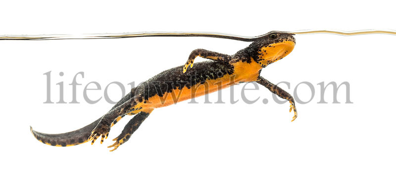 Alpine Newt swimming, Ichthyosaura alpestris, formerly Triturus alpestris and Mesotriton alpestris against white background