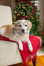 Dog laying in chair in front of Christmas Tree