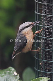 Eurasian Nuthatch (Sitta europaea) taking a black sunflower seed from the seed feeder, Lake District National Park, Cumbria, ...