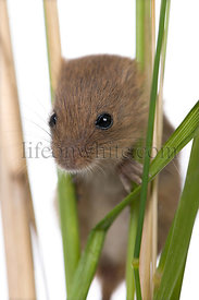 Close-up of harvest Mouse, Micromys minutus, climbing on blade of grass, studio shot