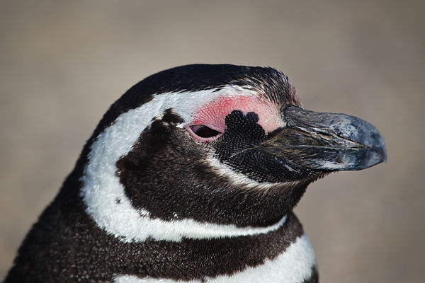 Profile portrait of a magellanic penguin on Punta Cantor on the Peninsula Valdes, Argentina.