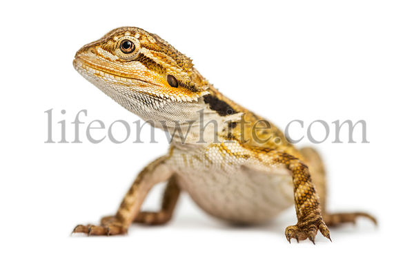 Side view of a Bearded Dragon, Pogona vitticeps, isolated on white