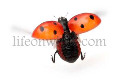 Seven-spot ladybird, Coccinella septempunctata, in front of white background