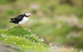 Puffin on the cliff tops of Noss