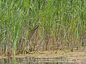Bittern Botaurus stellaris hunting along edge of reedbed Lakenheath Fen RSPB Reserve, Norfolk summer
