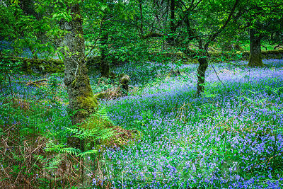 Bluebells blooming in Scottish woodland in April.